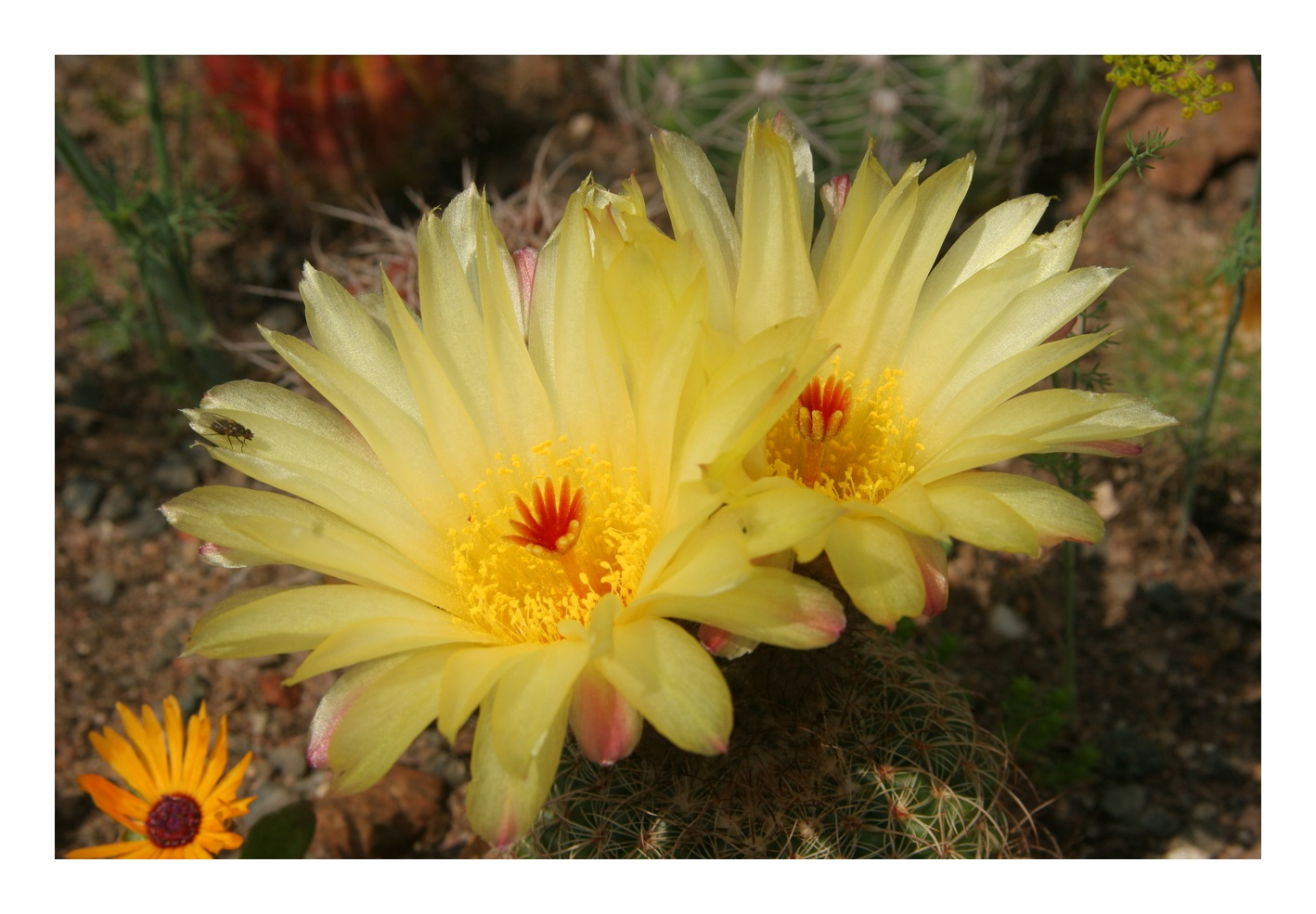 Blütenpracht beim Notocactus