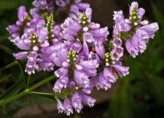 Blütenpracht der Drehblume ( Physostegia virginiana ) mit einer kleinen Wespe!