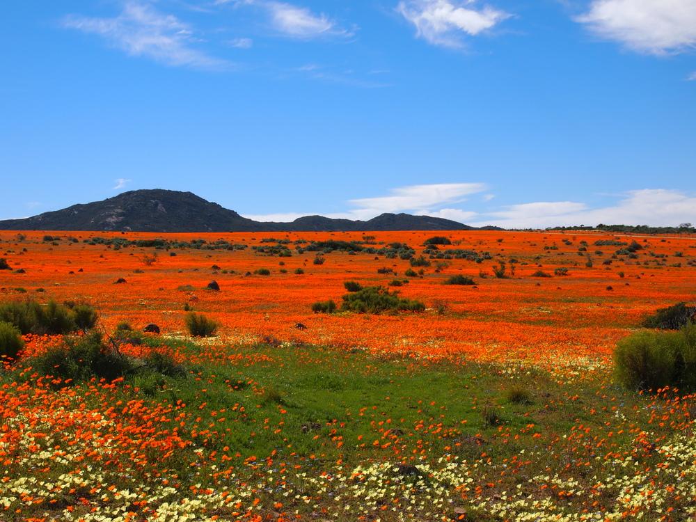 Blütenpracht im Namaqualand - Nr.1