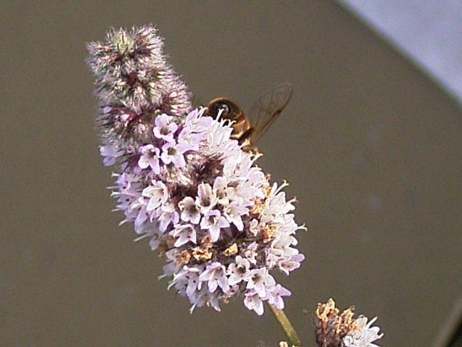 Blütenripspe mit Biene