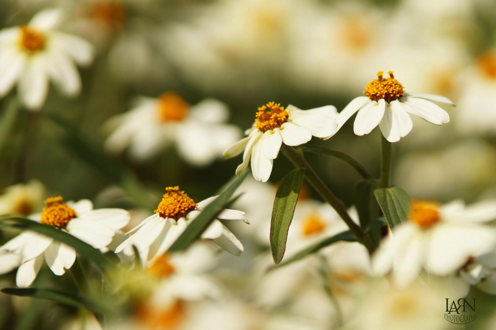 Blütenspiel