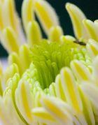 Blütenstand der Clematis Montana