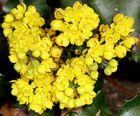 Blütenstand der Ilex-blättrigen Mahonie