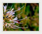 Blütenstand der Strauchkastanie (Aesculus parviflora)  (4)