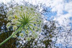 Blütenstand der Wilden Möhre
