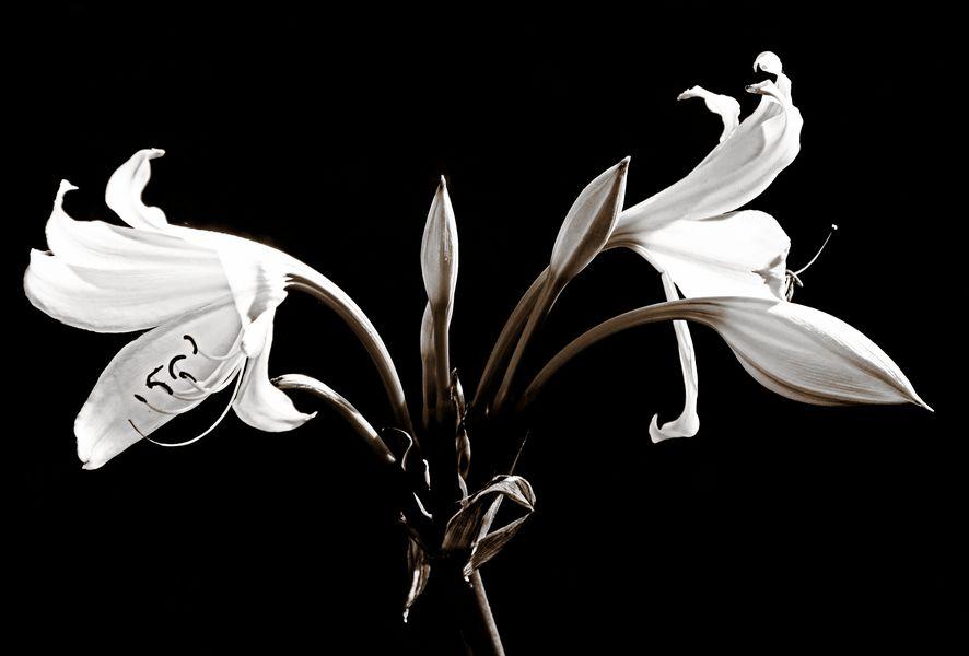 Blütenstand einer Gartenamaryllis