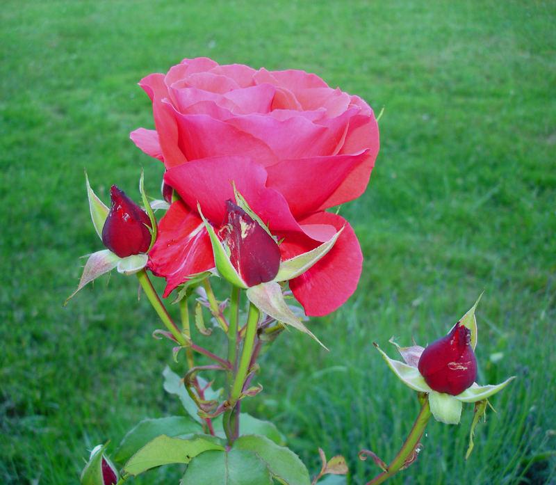 Blütenstand in voller Pracht