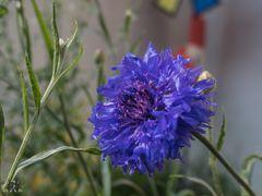 Blütenstempel der Kornblume