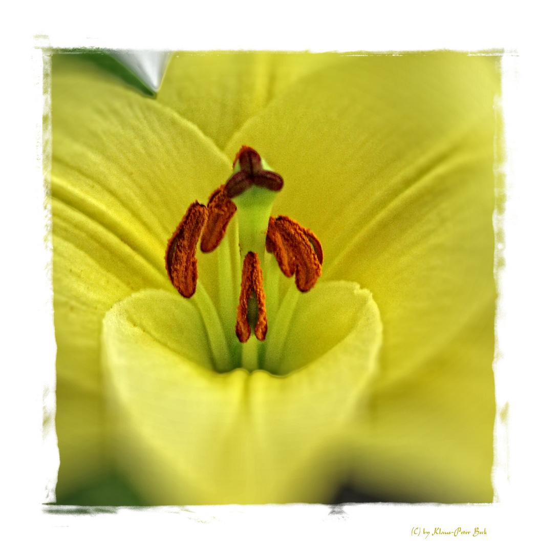 Blütenstempel einer Lilie