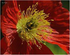 Blütenstempel IV