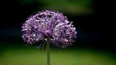 - Blütensterne -