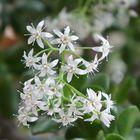 Blütenstock unseres Pfennigbaumes