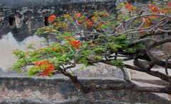 Blütenträume im Fort Jesus