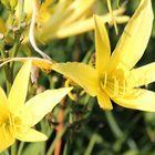 Blütenträume in Gelb