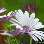 Blütentraum 2