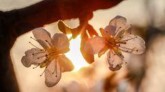 Blütentraum in der STREUOBSTWIESE  (2)