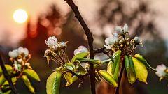 Blütentraum in der STREUOBSTWIESE  (3)