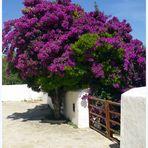 Blütentraum in Lila auf Ibiza