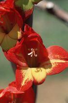 Blütentraum in rot/gelb