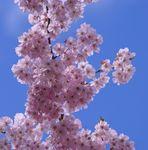 Blütenwolken