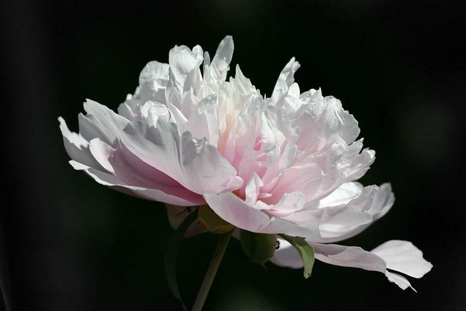 Blütenzart