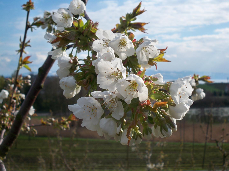 Blütenzauber am Bodensee