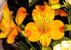 Blütenzauber - Amaryllis (1)