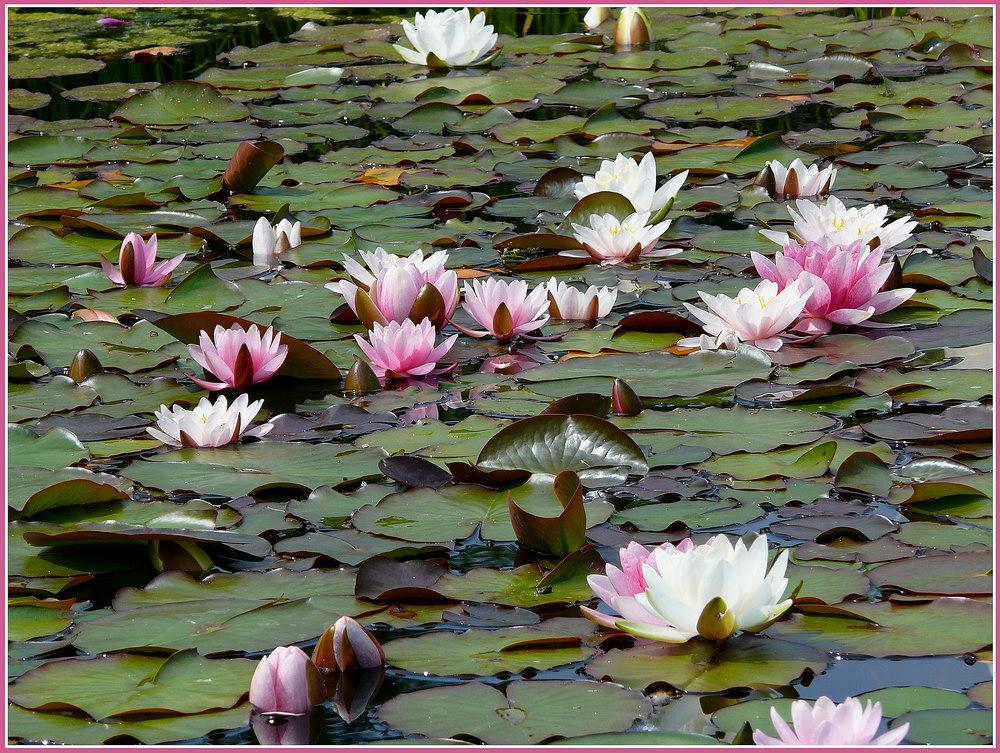 Blütenzauber auf dem Wasser