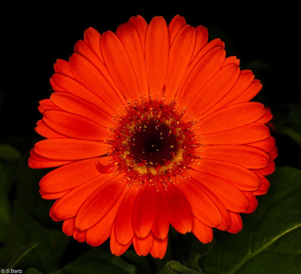 Blütenzauber - Gerbera (1)
