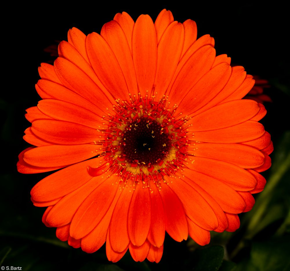 Blütenzauber - Gerbera (4)