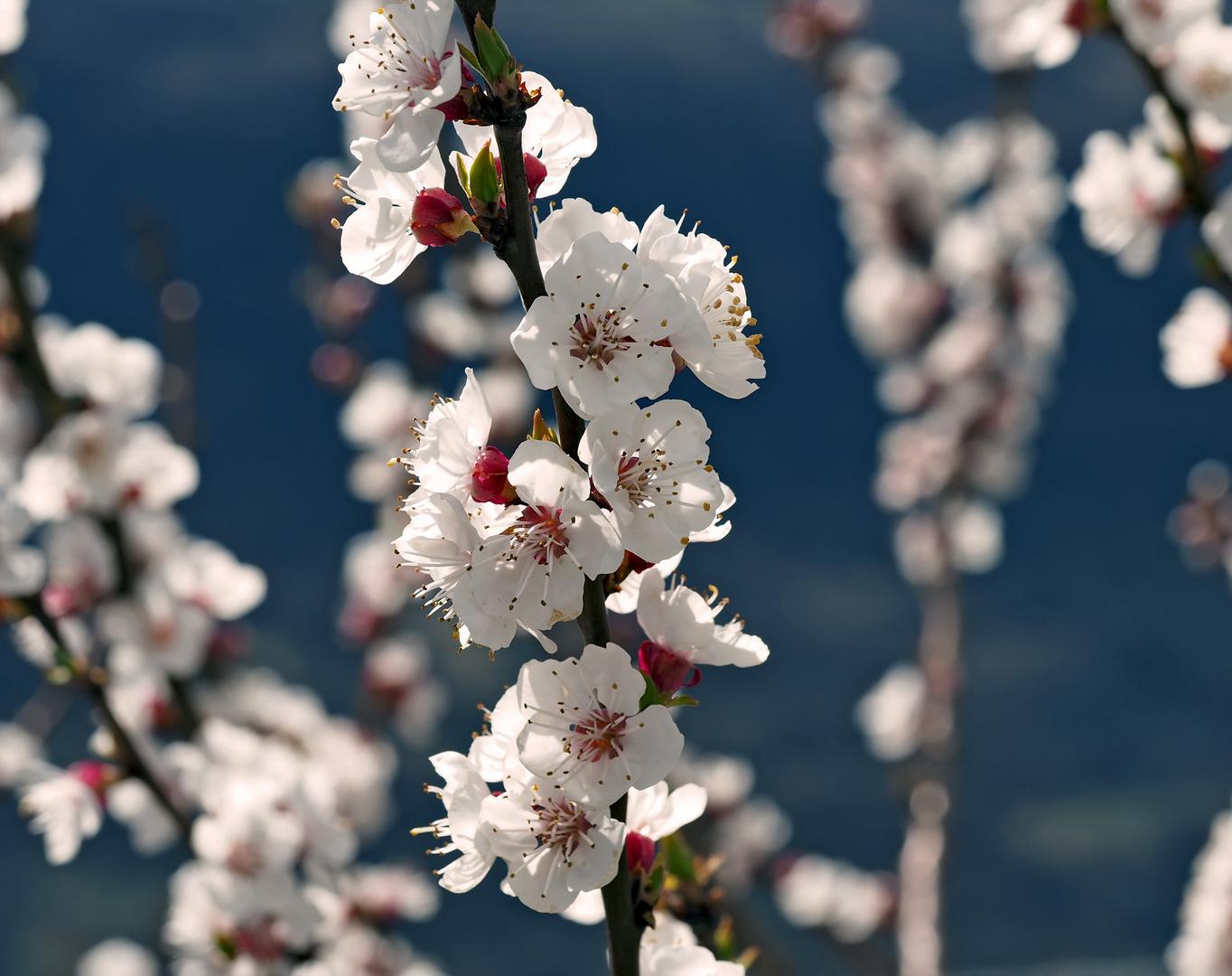 Blütenzauber! - Les merveilles du printemps!