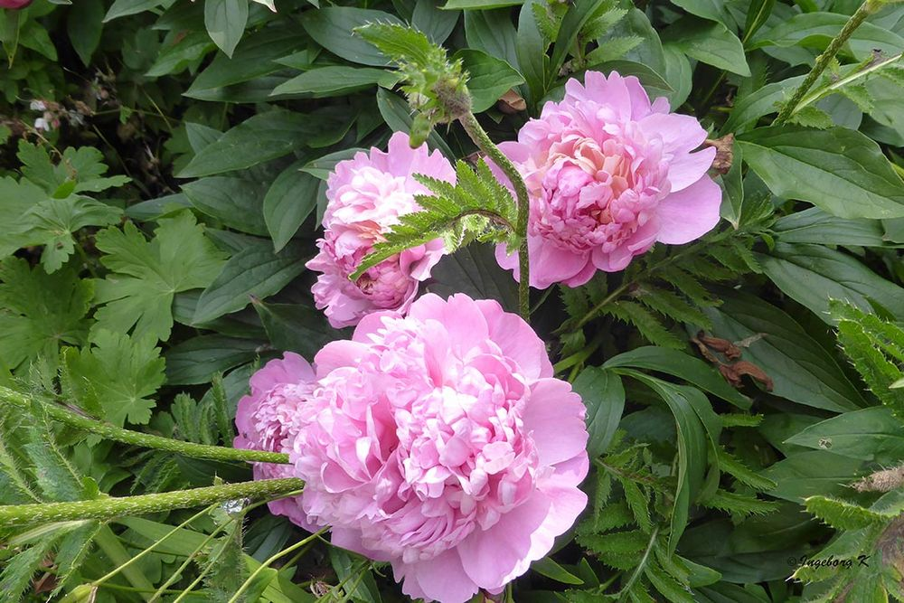 Blütenzauber Pfingstrosen