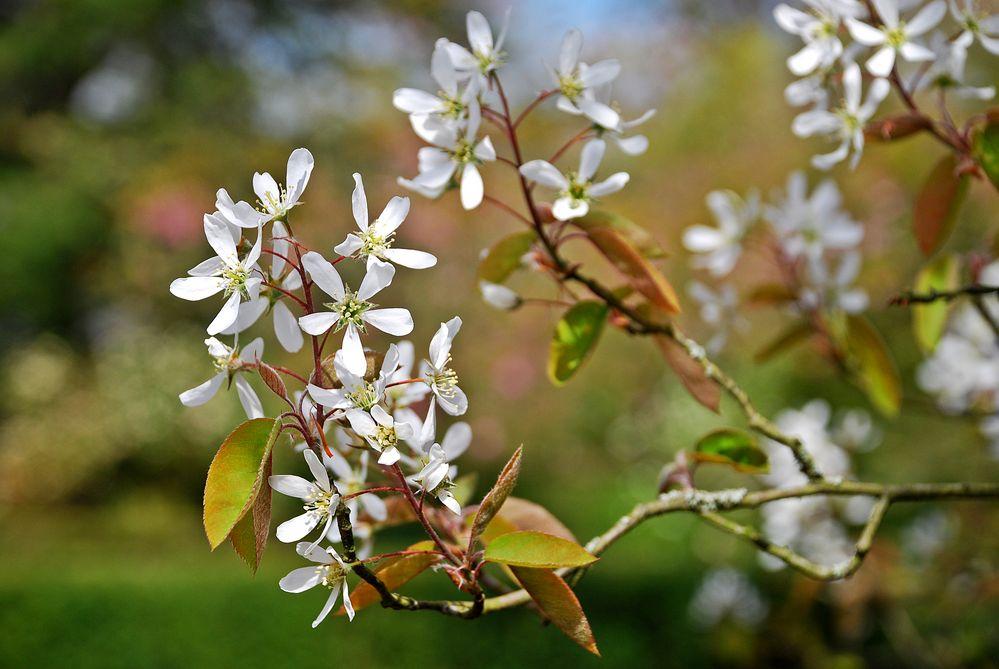 Blütenzweig