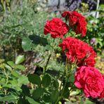 Blütezeit der Rosen