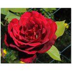 Blütezeit der Rosen_1