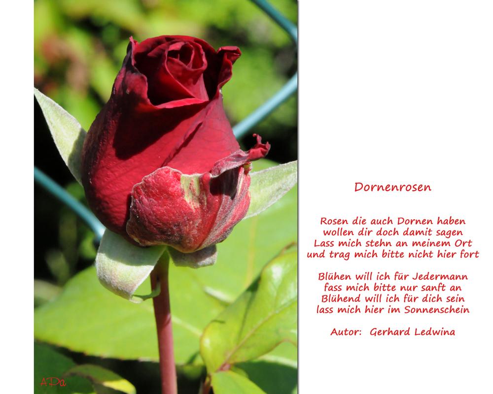 Blütezeit der Rosen_2