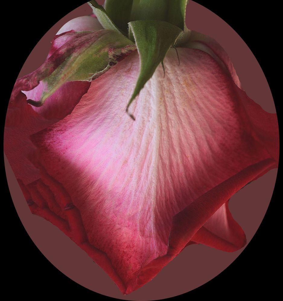 Blütte einer rose