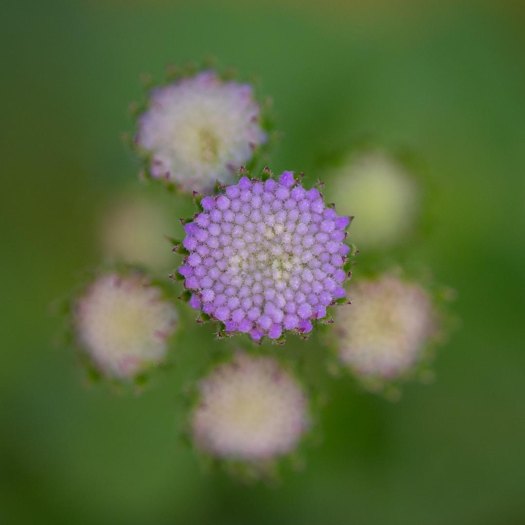 Blume-3476-2
