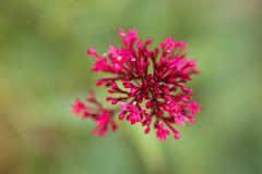 Blume-4336