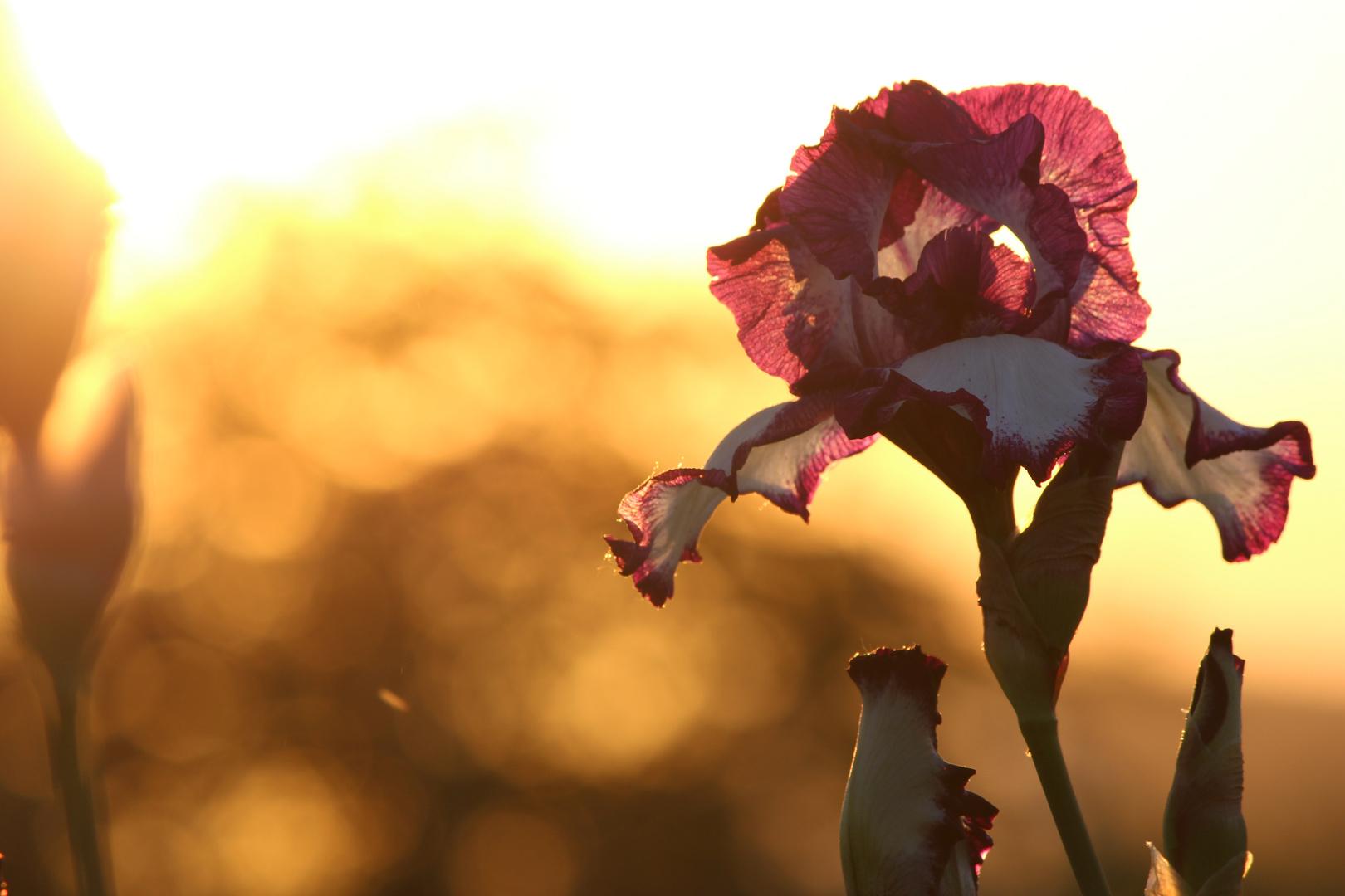 Blume am Wegesrand, im Abendrot
