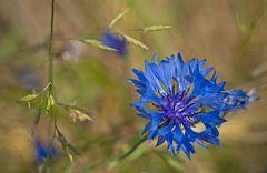 Blume an Korn