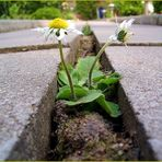 Blume auf dem Weg