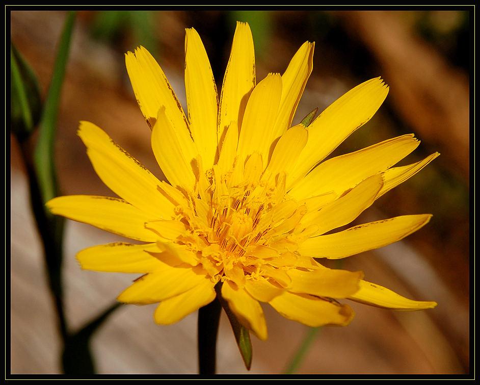 Blume auf der Almwiese