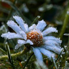 Blume bei Eis