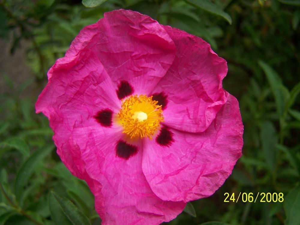 Blume der Isola Bella