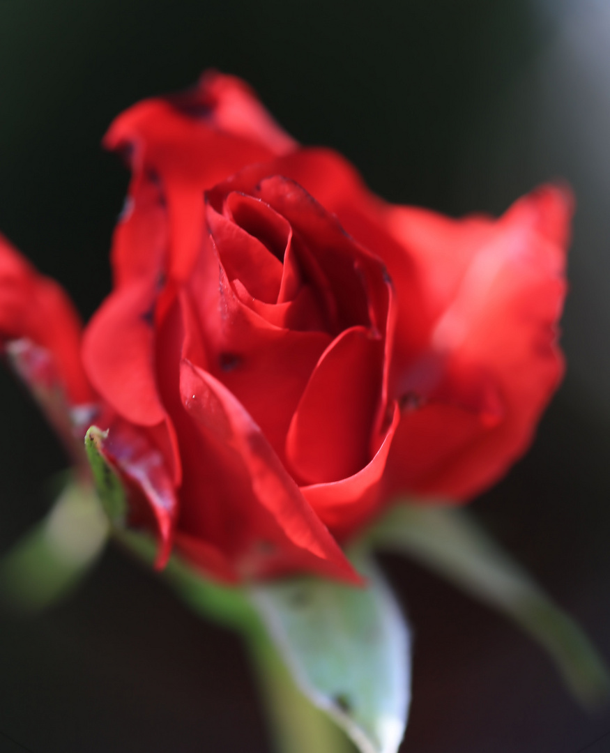 blume der liebe.. Foto & Bild | outdoor, natur