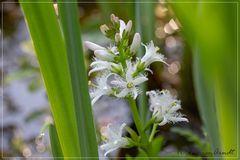 Blume des Jahres - Fieberklee