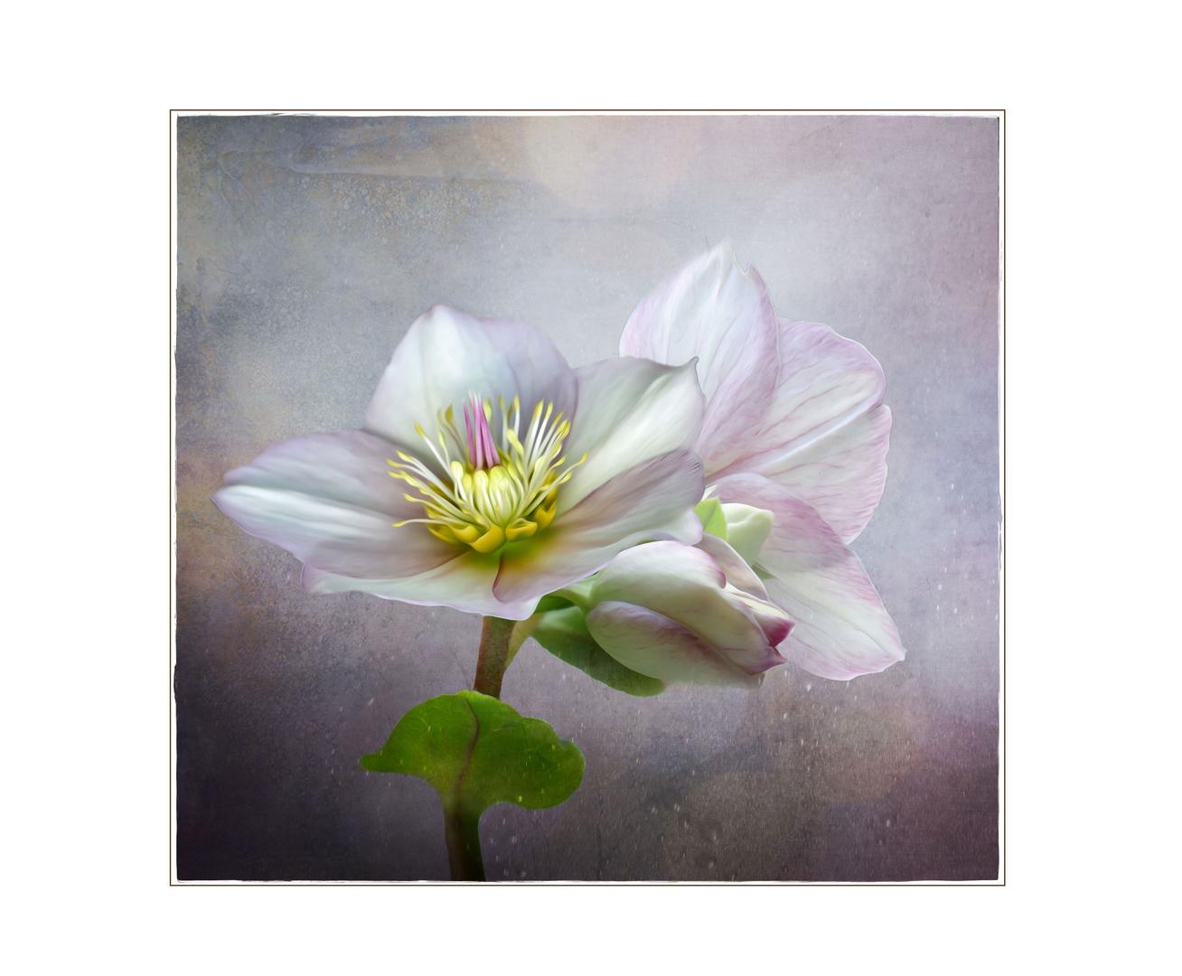 Blume des Winters...