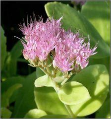 Blume ,,Fette Henne,, genannt