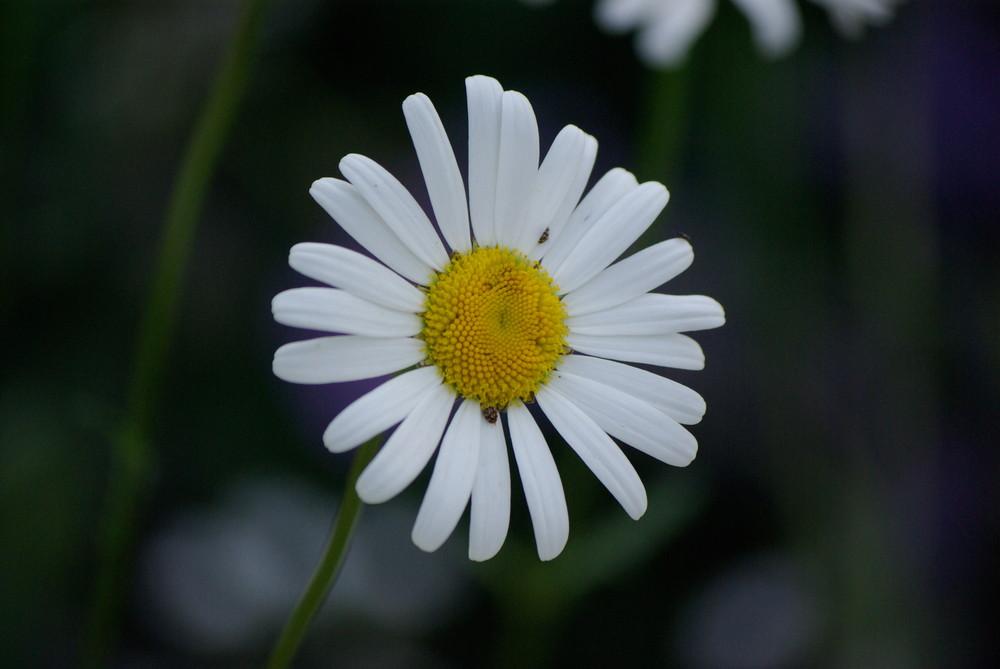 Blume gelb mit weißen Blättern Foto & Bild | pflanzen, pilze ...